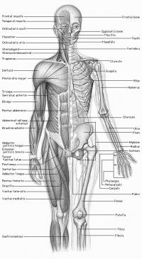 Gemeinsame Anatomie des Menschen – Survival Wiki &WQ_04