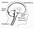 Brain-diagram-1.png